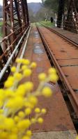 Ferrovia IRPINIA binari in fiori di mimosa